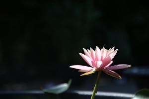 lotus-224987_1280